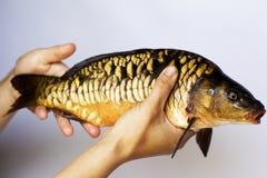 活河鱼鲤鱼在手中 免版税库存照片