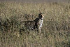 活泼和搜寻look's豹 免版税图库摄影
