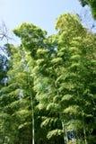 活泼的绿色豪华的竹树丛 免版税库存图片
