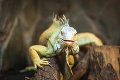 活蜥蜴蜥蜴有胡子的龙 免版税库存照片
