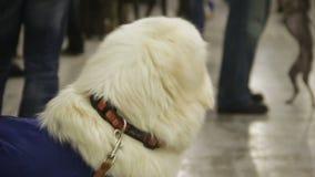 活跃和嬉戏的拉布拉多准备好行使在警犬培训中心 影视素材