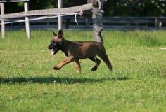 活跃malinois小狗在公园 图库摄影