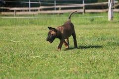活跃malinois小狗在公园 库存图片
