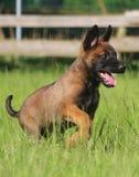 活跃malinois小狗在公园 免版税图库摄影