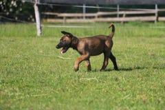 活跃malinois小狗在公园 免版税库存照片