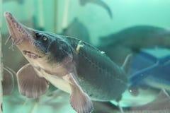 活鲟鱼在水中 免版税库存图片