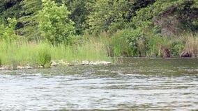 流动与摇摆的植物和树的河水 股票视频