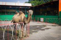 流动动物园的骆驼封入物 库存图片