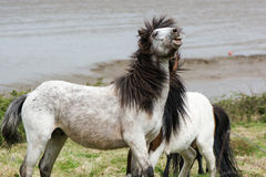 流动在战斗期间的灰色Dartmoor小马的黑暗的鬃毛 免版税库存照片