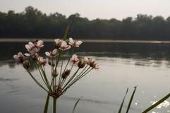 流动横跨绿色森林秋天的宽河 夜间 树的反射在镇静水中 日落 开花仓促开花 免版税库存图片