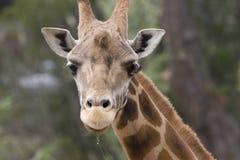 流口水的长颈鹿 免版税库存照片