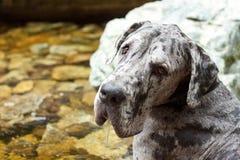 流口水的丹麦种大狗 库存照片