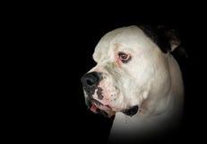 流口水的美国牛头犬画象 免版税图库摄影