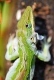 流洒皮肤的蜥蜴 免版税库存照片