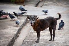 流浪狗和背景鸽子 库存照片