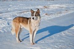 流浪狗在一寒冷冬天天 库存照片