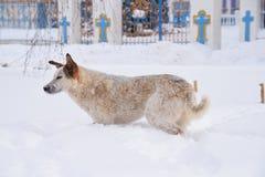 流浪狗在切尔诺贝利中 免版税库存图片