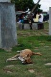流浪狗在Matana,斯里兰卡 免版税库存照片