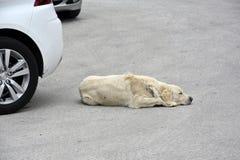 流浪狗放在停放的汽车之间 图库摄影