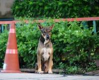 流浪狗的泰国黑和棕色和白色颜色在交通锥体旁边坐街道有绿色树背景 免版税库存照片