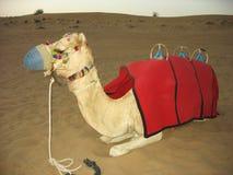 流浪的骆驼在迪拜,阿拉伯联合酋长国 库存图片