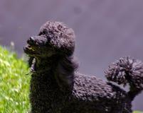 流浪者很好定义了脸型并且从其他狗品种容易地是可区分的:头很好是defi 库存图片