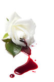 流血的玫瑰白色 库存照片
