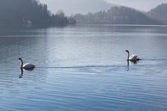 流血的Swan湖 免版税库存图片