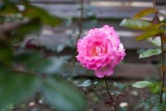 流行粉红上升了开花在庭院里 库存图片