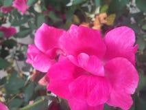 流行粉红上升了 库存照片