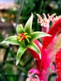 流行粉红热带袋鼠爪子花 免版税库存照片