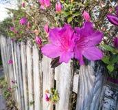 流行粉红Azelea进展生长在老被绘的篱芭 免版税库存图片