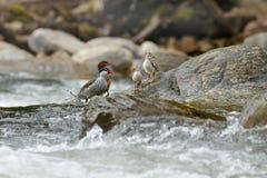 洪流鸭子, Merganetta armata,对与年轻人的鸟在有石头的山河 从厄瓜多尔的罕见的鸭子 野生生物场面从 库存图片
