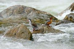 洪流鸭子, Merganetta armata,对鸟在有石头的山河 从厄瓜多尔的罕见的鸭子 从自然的野生生物场面 免版税库存图片