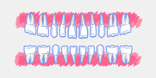 流洒显示牙的解剖学儿童牙齿爆发计时称谓 免版税库存照片