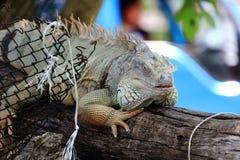 流洒皮肤的绿色鬣鳞蜥 免版税库存图片