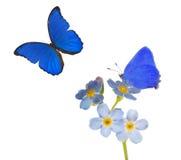 浅兰的勿忘草花和两只蝴蝶在白色 免版税库存照片