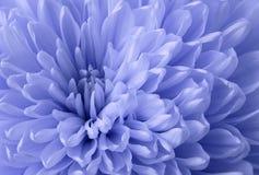 浅兰的菊花花 宏指令 一个蓝色菊花花特写镜头的背景 嫩花 库存照片