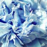 浅兰的被设色的牡丹瓣 免版税图库摄影