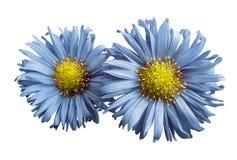 浅兰的雏菊花在白色的隔绝了背景 设计的两棵春黄菊 在视图之上 特写镜头 免版税图库摄影