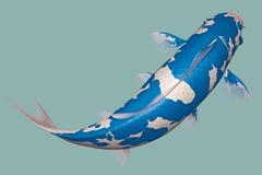 浅兰的Koi鱼 免版税库存照片