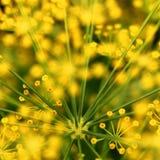 浅抽象构成深度莳萝领域的花 库存照片