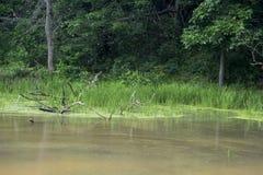 浅水区的水生植物 免版税库存照片