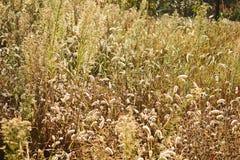 浅深度的域 被弄脏的秋天背景 秋天植物 天鹅绒季节 草的狂放的领域在日落的,软的太阳发出光线 免版税图库摄影