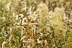 浅深度的域 被弄脏的秋天背景 秋天植物 天鹅绒季节 草的狂放的领域在日落的,软的太阳发出光线 免版税库存照片