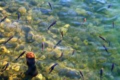 浅滩鳟鱼 免版税库存照片