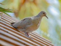 浅灰色的鸽子坐瓦屋顶 库存图片