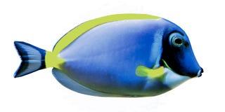 浅灰蓝色矛状棘鱼 库存照片