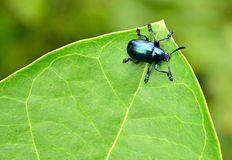浅甲虫蓝色重点的叶子 库存图片