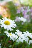 浅的雏菊dof 库存照片
